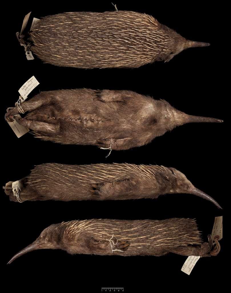 Cette peau d'échidné à nez long a été trouvée dans les collections du Musée d'histoire naturelle de Londres. Elle porte encore l'étiquette apposée par John Thomas Tunney en 1901 durant une expédition naturaliste menée en Australie. Il ne subsiste que cinq espèces de monotrèmes (des mammifères ovipares) dans le monde. © Helgen et al., 2012, Zookeys