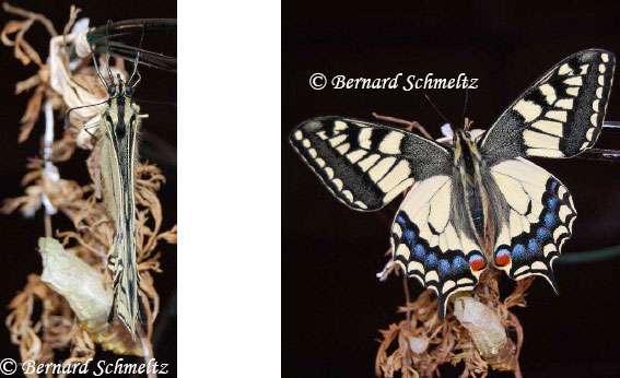 À gauche : Machaon ailes fermées : peu d'ombre. À droite : ouverture brusque des ailes. © Bernard Schmeltz