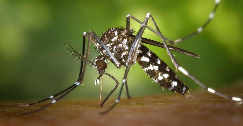 Moustique Aedes-albopictus. © James Gathany, Wikimedia commons, DP