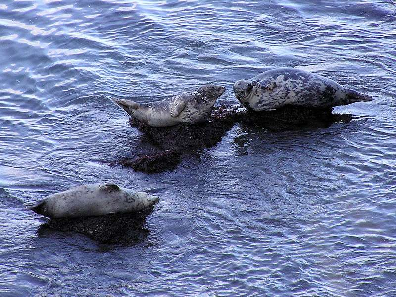 Phoques gris. © Yummifruitbat, CCA-SA 2.5 Generic license