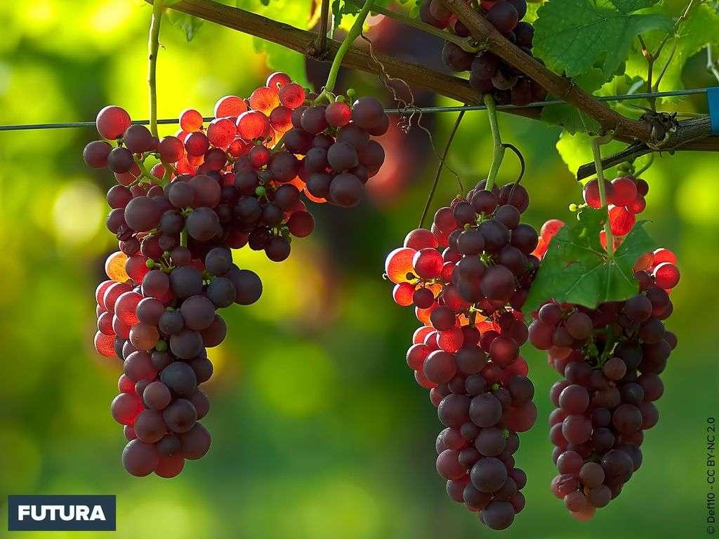 Grappes de raisin au soleil