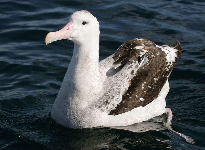 Albatros hurleur en mer. © Mark Jobling, domaine public