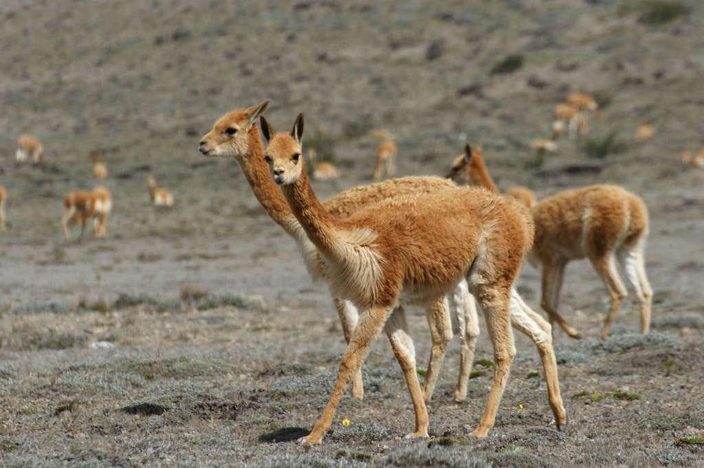 La laine de vigogne est la plus fine de toutes, mais c'est aussi la plus chère. © Franck Monnot, Fotolia