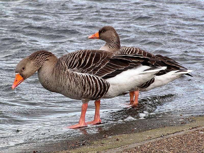 Couple d'oies cendrées. © DaniKauf, Wikipédia, GNU 1.2