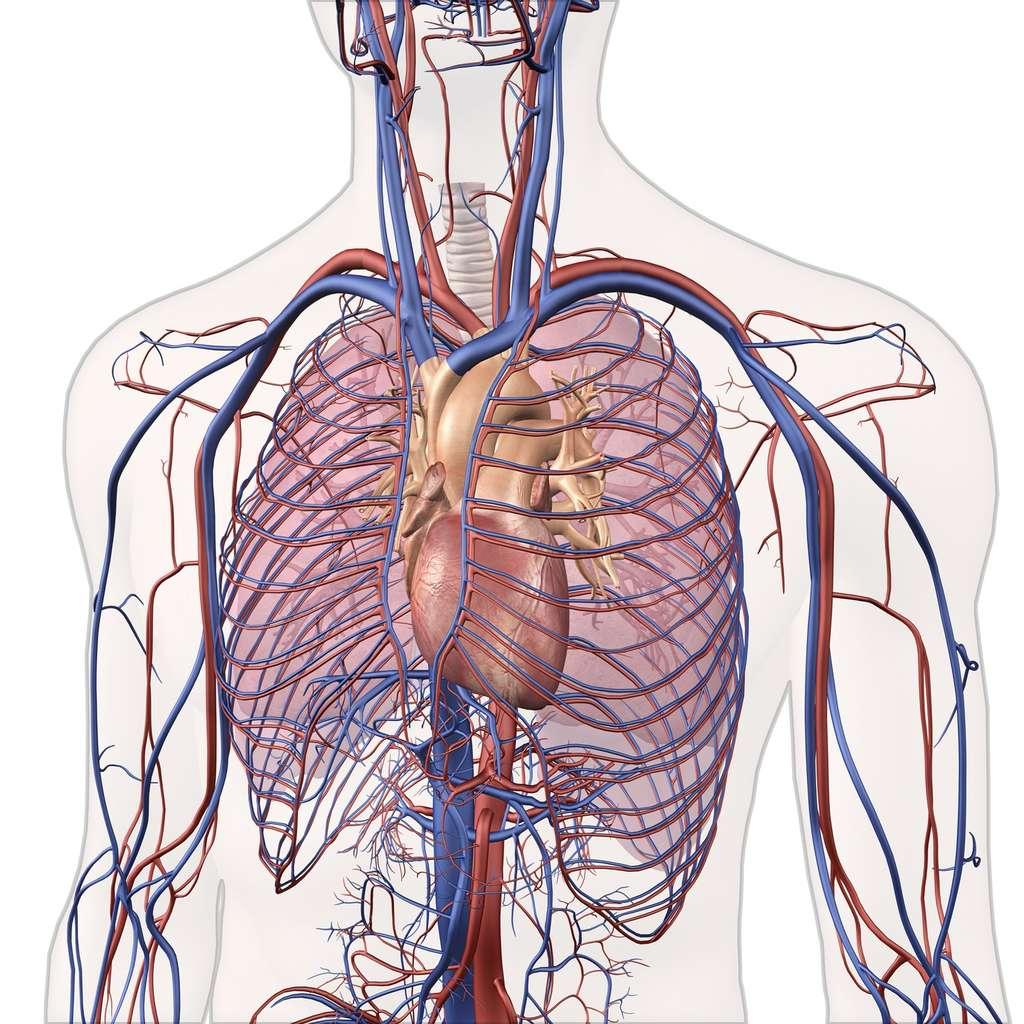 Sur les schémas, les veines sont souvent représentées en bleu et les artères en rouge. © HANK, Fotolia
