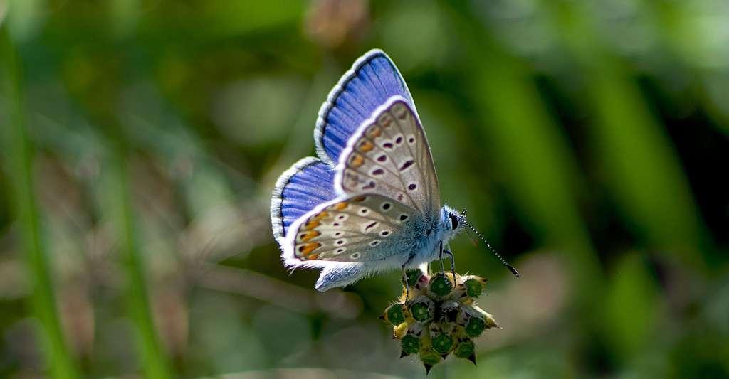 Azuré du serpolet. © Katya, Wikimedia commons, CC by-sa 2.0