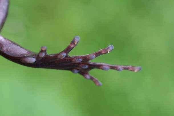 Les griffes qui traversent la peau de Trichobatrachus robustus. © mussi, Flickr