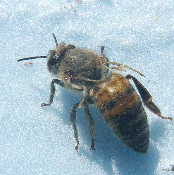 Les ailes des abeilles touchées par la maladie des ailes déformées ne se développent pas complètement. © Shawn Casa, Wikimedia Commons, cc by sa 3.0