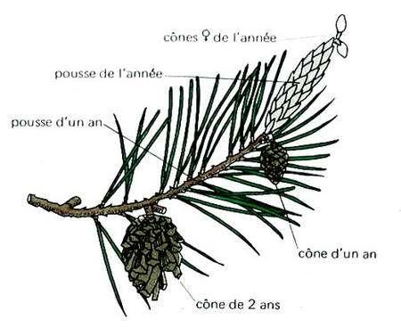 Rameau de pin et position des cônes d'après Margot et Jaccottet