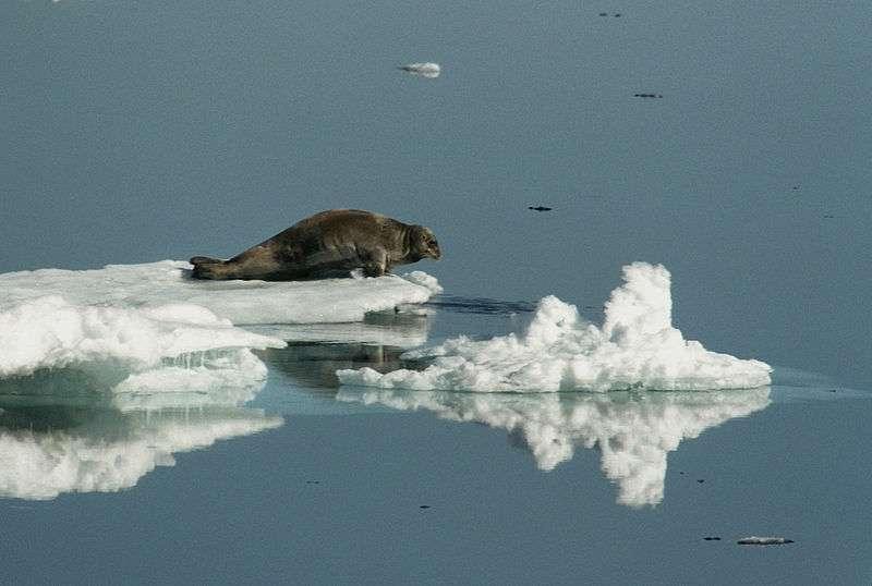 Phoque barbu sur une plaque de glace. © Jerzy Strzelecki, GNU FDL Version 1.2