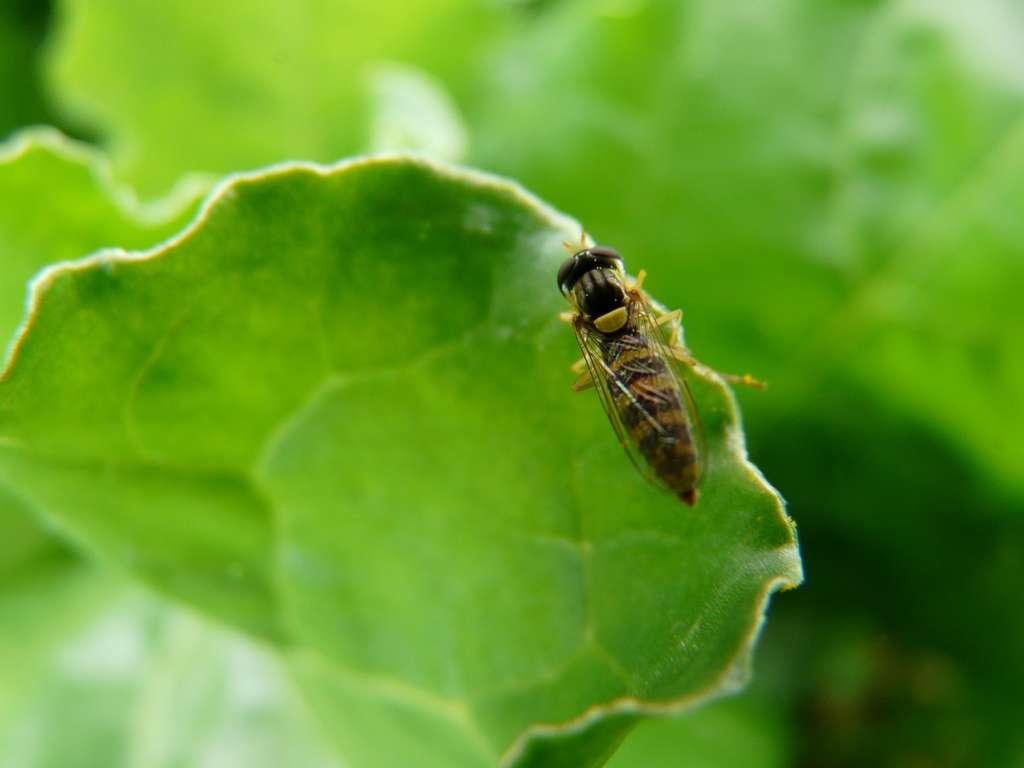 Les syrphes sont des mouches prédatrices des pucerons. © FloraCB, France Agri Twittos