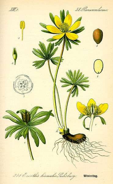 Planche botanique de l'eranthis. © Wikimedia Commons, DP