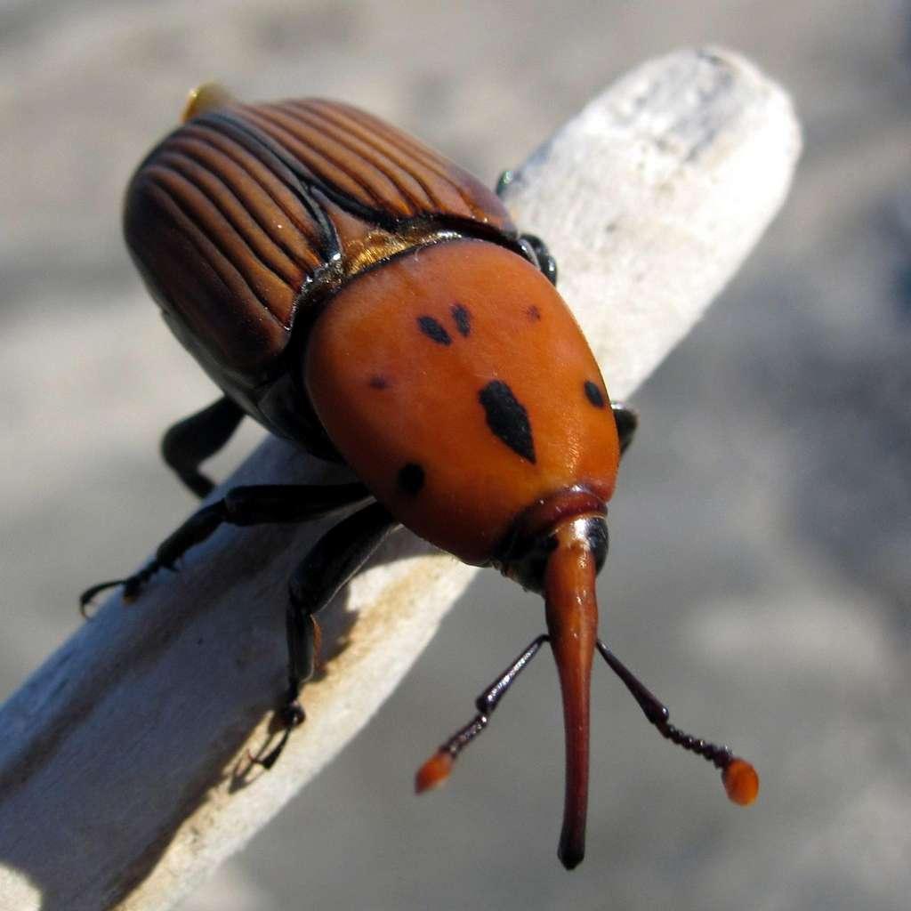 Le charançon rouge (Rhynchophorus ferrugineus) est surnommé le « tueur de palmiers ». Implanté dans tout le bassin méditerranéen, ce coléoptère très invasif menace d'y faire disparaître tous les palmiers. © Philippe Teuwen, Flickr, CC by-sa 2.0