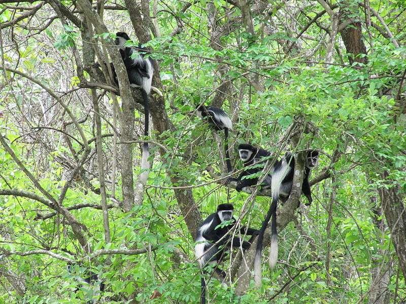 Groupe de colobes guereza en Ouganda. © Daryona, CC by-SA 3.0