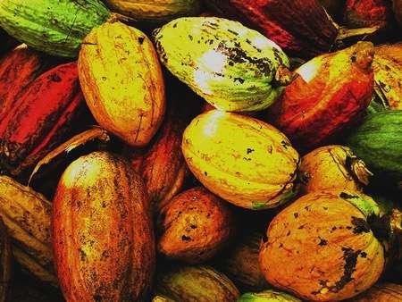 Cabosses de cacao. © DR