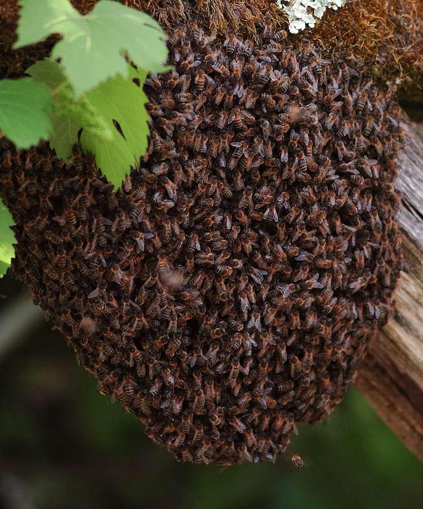 Les essaimages ont lieu au printemps. La vieille reine quitte alors la ruche avec la moitié de sa population, toutes castes confondues, à la recherche d'un nouveau site de vie. © shamaj, Flickr, CC by-nc-nd 2.0