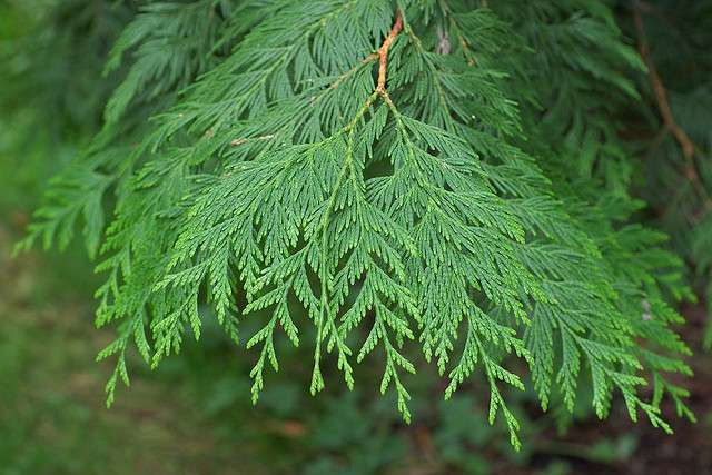 Thuja plicata. © Eric in SF, Flickr CC by nc-nd 2.0
