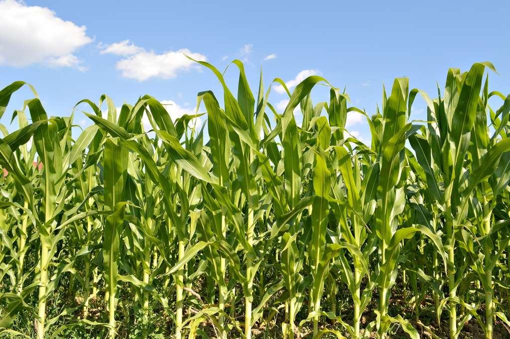 Les néonicotinoïdes sont des insecticides utilisés pour enrober des semences comme celles de maïs. © izzzy71, Fotolia