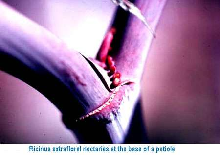 Nectar extrafloral provenant des glandes de la plantes. © DR