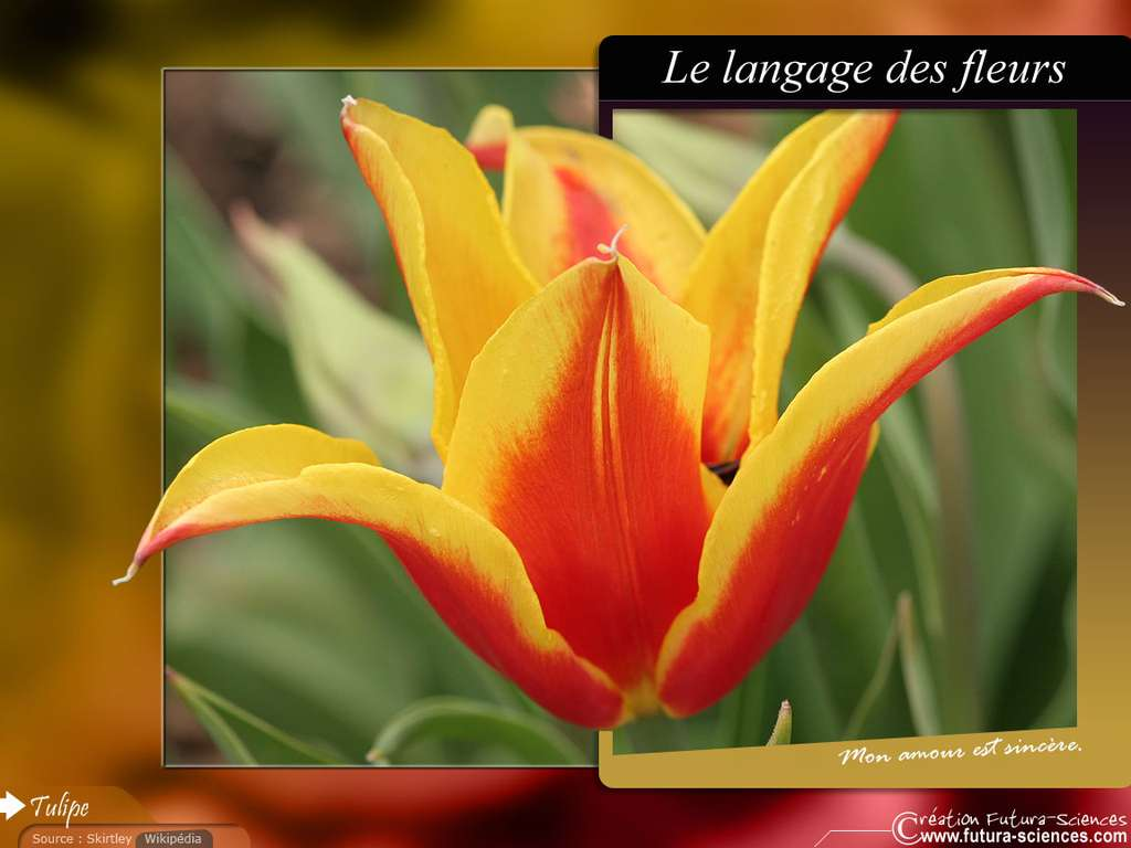 Tulipe : Mon amour est sincère