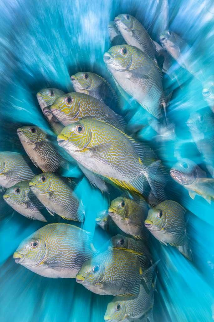 « Zoom artistique sur le poisson-lapin ». © Nicholas More, UPY 2020