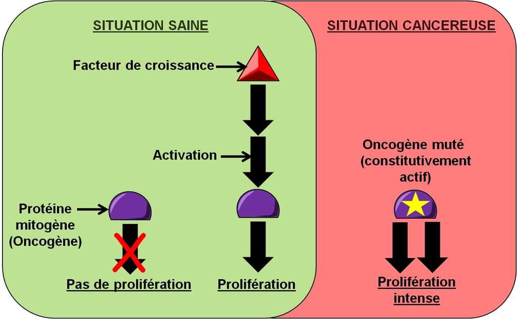 Figure 10. Dérégulation de la prolifération cellulaire. En situation saine, une cellule a besoin de facteurs de croissance pour proliférer. Dans une situation cancéreuse, la cellule cancéreuse peut muter un oncogène pour qu'il génère de façon permanente des signaux de prolifération, indépendamment de la présence de facteurs de croissance. © Grégory Ségala