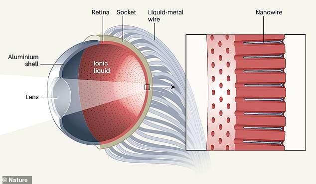 Cet œil bionique mesure à peu près autant que son homologue humain, à savoir un peu plus de 2 cm de diamètre. Il en reprend l'allure et le fonctionnement, avec une lentille, une rétine et ses capteurs, ainsi que sa liaison nerveuse. © Gu & Al, Nature