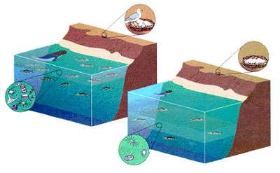 Figure 1 Ces figures montrent le contraste saisissant qui existe pour l'écosystème marin le long des côtes du Pérou et de l'Équateur entre une année normale (à gauche) et une année El Niño (à droite). L'eau chaude et pauvre en nutriments apportée par un El Niño ne peut abriter que peu de phytoplancton (petites créatures qui sont à la base de la chaîne alimentaire marine). Les poissons, otaries et autres animaux marins doivent plonger plus profondément dans l'océan pour chercher de la nourriture. les oiseaux de mer se dispersent sur les océans, en abandonnant leurs petits.