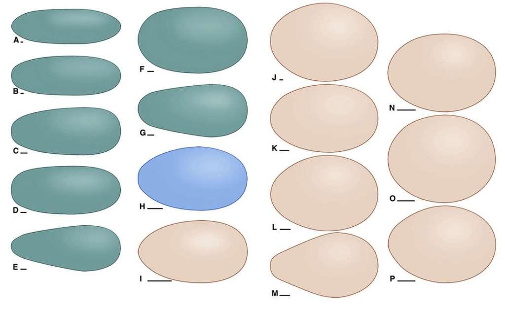 Ces œufs ont été classés selon leur forme sur la base de procédés mathématiques. Sankofa pyrenaica, l'œuf ovoïde de théropode trouvé à Lleida, est indiqué en bleu. Les couleurs vertes et roses marquent respectivement d'autres œufs de dinosaures et d'oiseaux modernes. © Complutense University