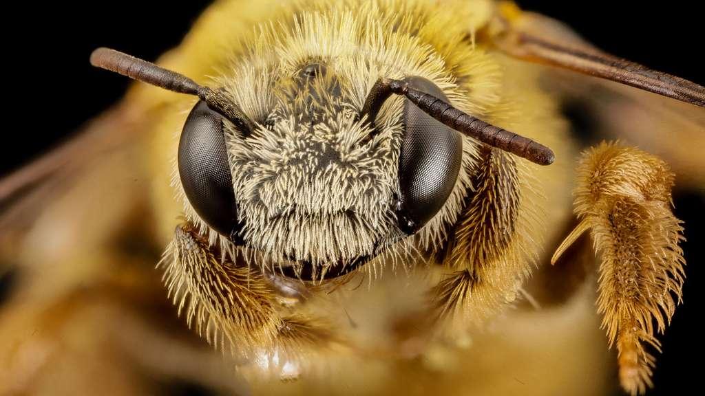 Tête d'une abeille du Brésil