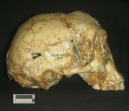Le fossile humain de Florès. © H. Widianto
