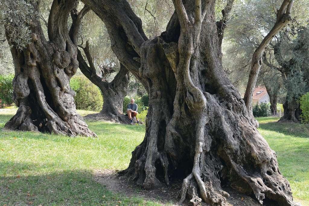 Les oliviers du Musée Renoir dans les Alpes-Maritimes