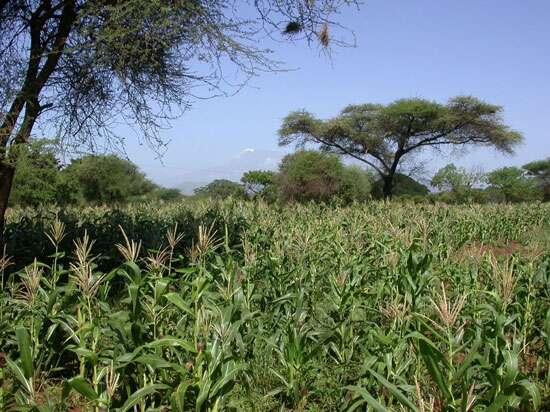 Champs de maïs au Kenya près du Kilimandjaro (en arrière plan). © Bruno Le Ru, IRD