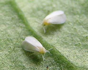 Les aleurodes sont de tout petits parasites. © Gaucho, licence de documentation libre GNU, version 1.2
