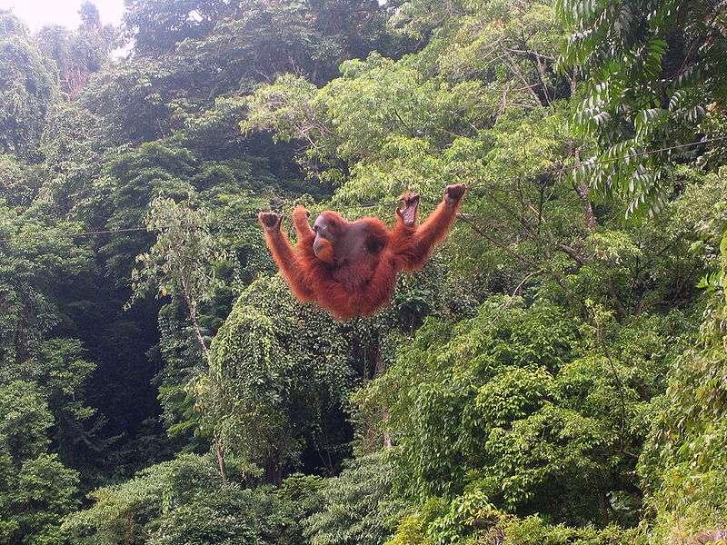 Type de forêt dans laquelle évolue l'orang outan. © Tbachner, domaine public