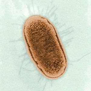 La bactérie E. coli a permis de découvrir le principe de l'opéron lactose. © AJC1, Flickr CC by-nc 2.0