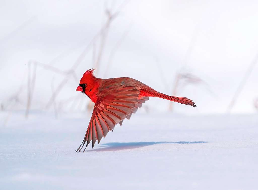 Cardinal rouge. © Steve Jessmore, Audubon Photography Awards 2021
