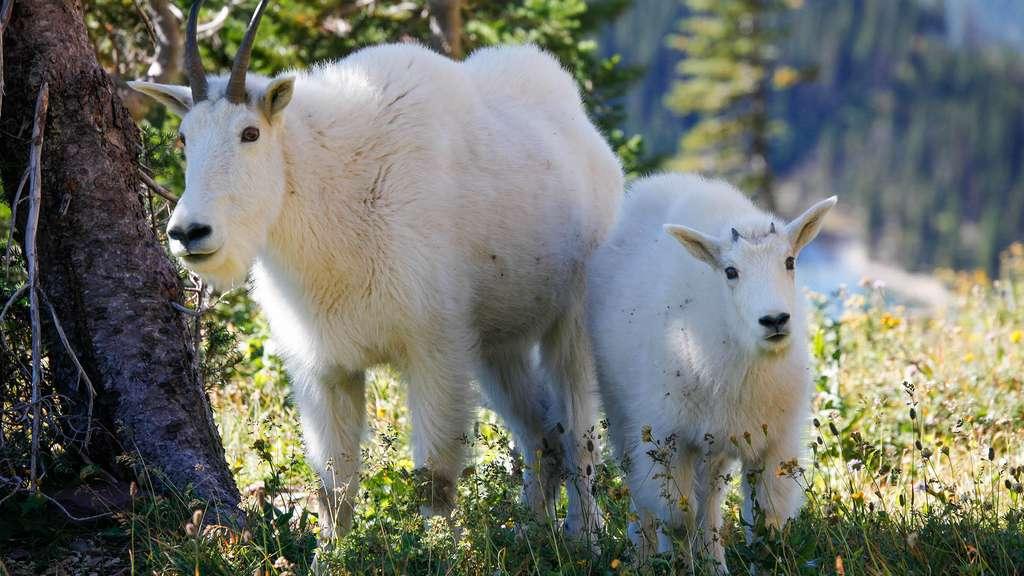 Des chèvres blanches au parc de Glacier