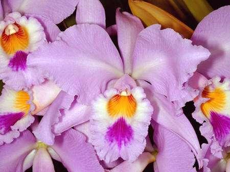 Cattleya gaskelliana est une orchidée qui pousse en Colombie et au Venezuela entre 700 et 1.000 mètres d'altitude. © Éric Hunt