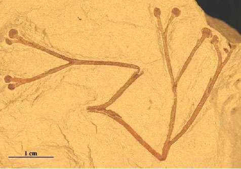 Fig. 4 :Cooksonia. Une espèce différente de celle illustrée en fig. 3 et 5, avec des sporanges plus arrondis.