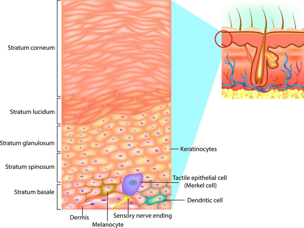 L'épiderme de la peau comprend plusieurs couches, avec en surface la stratum corneum, ou couche cornée. © sakurra, Fotolia