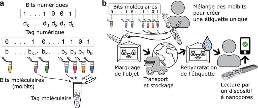 Le système Porcupine expliqué. Les bits informatiques sont convertis en « molbits », des bits moléculaires, sur des brins d'ADN présynthétisés. Ces molbits sont mélangés pour créer une étiquette unique sous forme d'ADN déshydraté, qui peut être apposée sur un objet. Une fois réhydratée, la séquence ADN est lue en quelques secondes via un appareil portable à nanopores. © d'après Kathryn Doroschak et al, Nature Communications, 2020