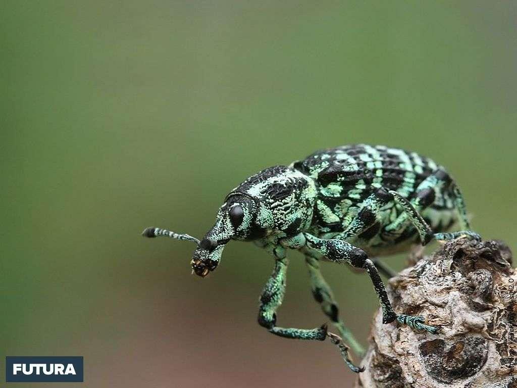 Chrysolopus spectabilis vit dans le sud-ouest de l'Australie