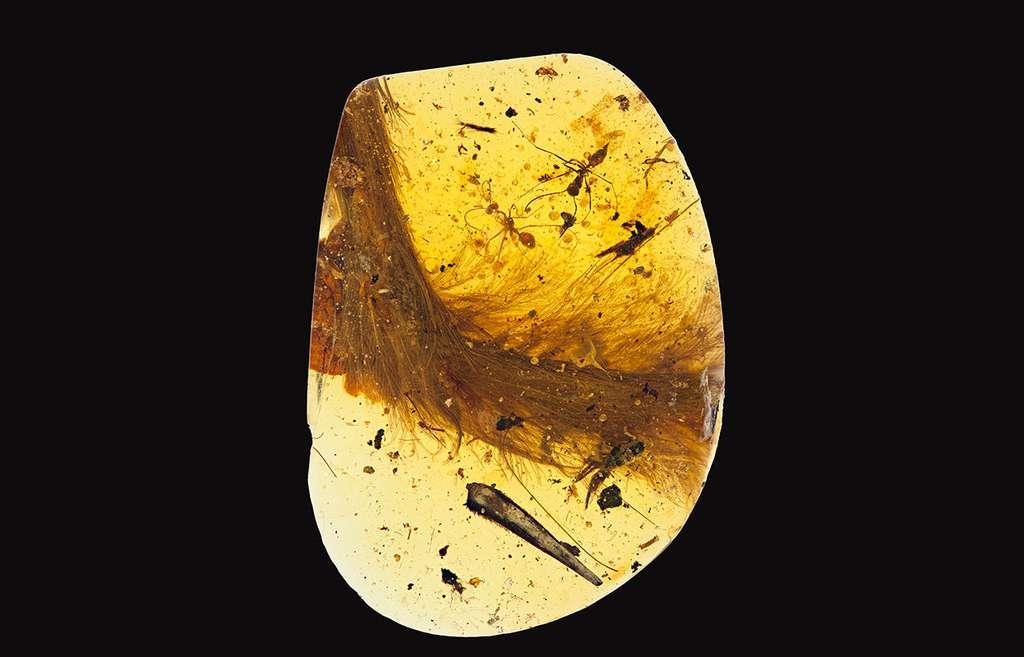 Le morceau d'ambre qui a retenu l'extrémité de la queue d'un jeune dinosaure de petite taille, il y a environ 99 millions d'années. Le plumage est bien visible. Son analyse microscopique montre que ces plumes qui ne sont pas celles des oiseaux leur ressemblent un peu. © Royal Saskatchewan Museum, R.C. McKellar