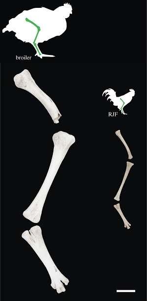 Comparaison entre les os de la patte d'un poulet d'élevage moderne et ceux d'un coq doré, ou coq sauvage. Les deux spécimens sont présentés à la même échelle et sont juvéniles : le premier a cinq semaines, le second six. © Carys E. Bennett et al., Royal Society