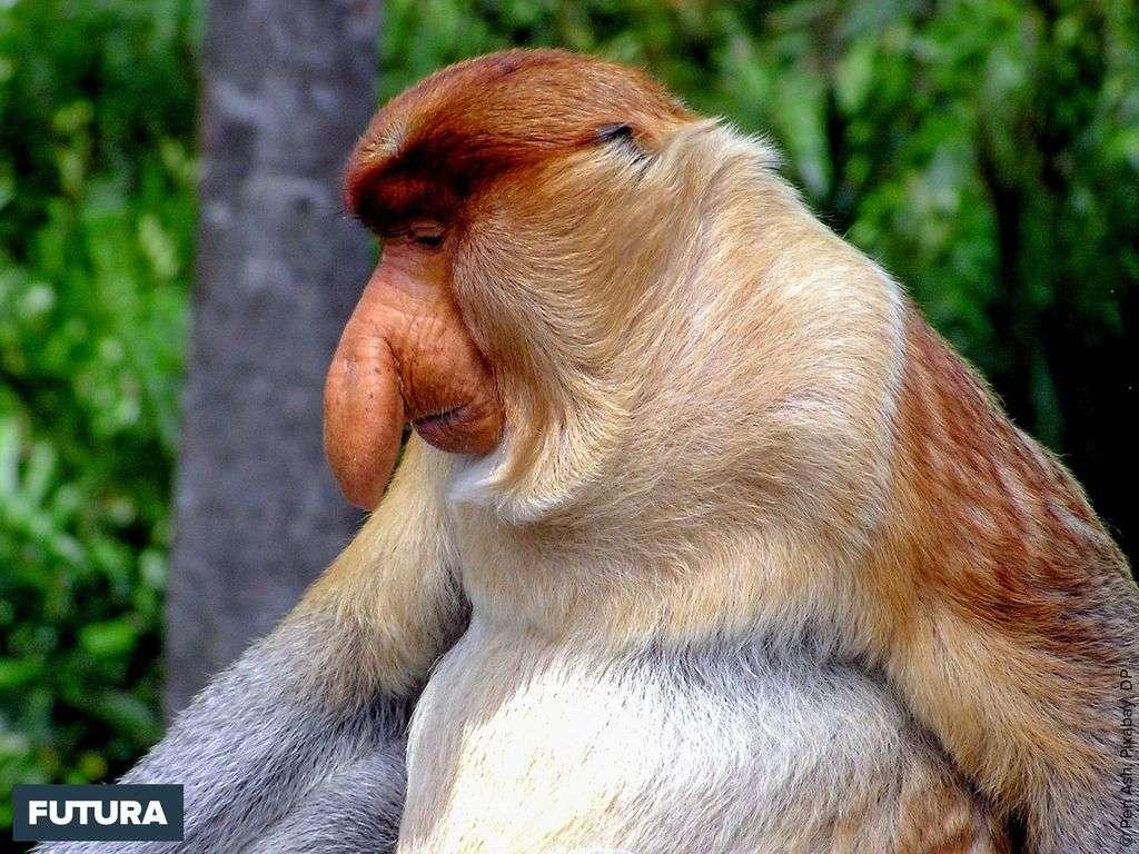 Nasique, singe arboricole de l'île de Bornéo