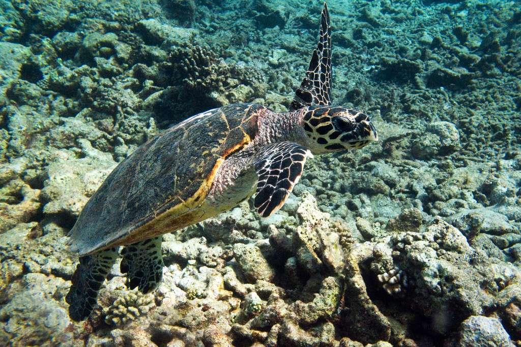 Tortue imbriquée dans les récifs coralliens des Maldives. © Mal B, CC BY-ND 2.0