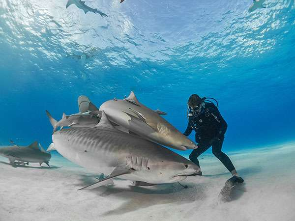 Tiger beach est située au nord-ouest des bancs de sable de Freeport en face de la Floride. Cette zone riche en proies apportées par le Gulf Stream profite aux prédateurs de toutes sortes pour s'alimenter et se reposer. Les femelles requin-tigre (Galeocerdo cuvier) gravides bénéficient des avantages de cette zone pour se reposer de la longue migration qui les amène ici à chaque cycle, pour mettre-bas dans les eaux peu profondes de Grand Bahama. C'est le meilleur spot au monde pour plonger avec les requins-tigres. © Joe Mazzi, tous droits réservés