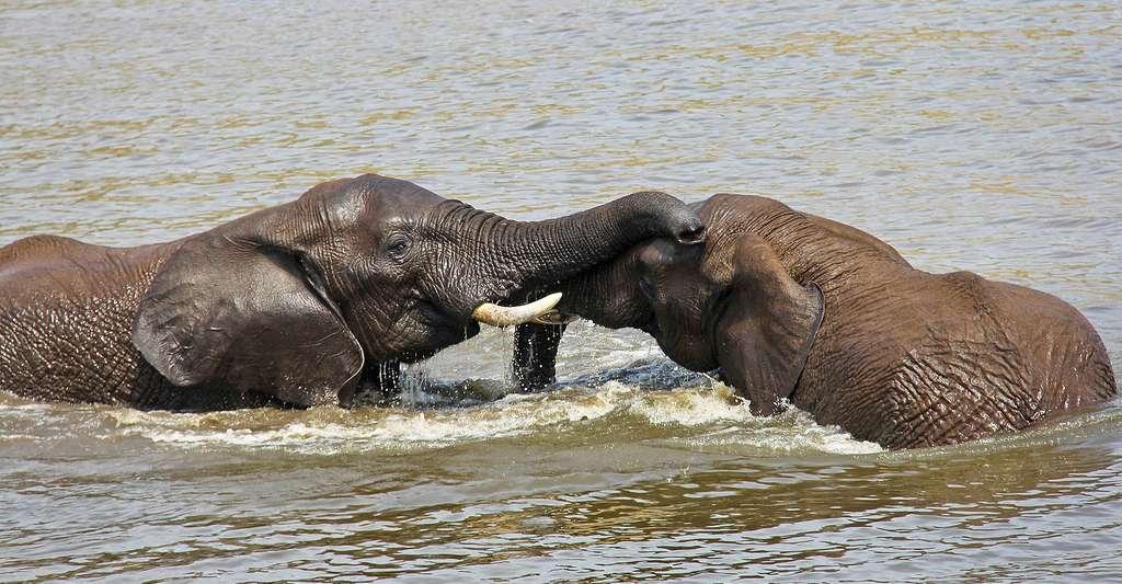 L'heure du bain pour les éléphants. © Sharonang - Domaine public
