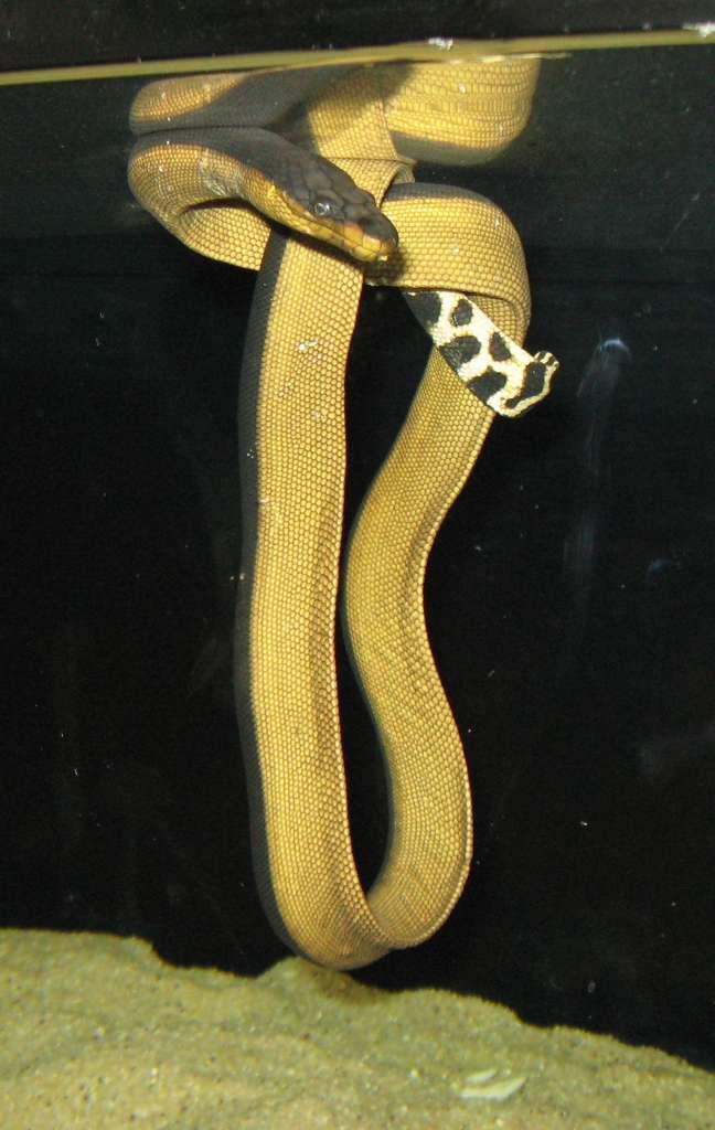 La plongée des 90 espèces de serpents marins, ici le pélamide bicolore, est peu étudiée contrairement à celle des mammifères marins, tels les phoques ou les manchots, notamment parce qu'il reste difficile d'équiper d'enregistreurs ces petits animaux. © Carpenter0, domaine public
